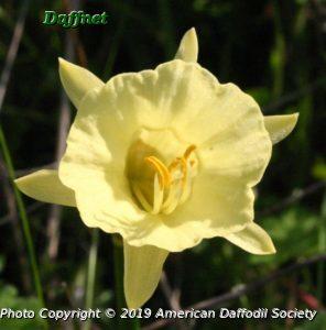 N.-hedraeanthus-luteolentus-yellow-form-2.jpg