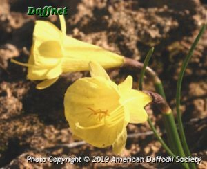 N.-hedraeanthus-luteolentus-yellow-form.jpg