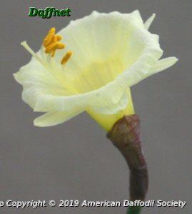 N.-hedraeanthus-var.-luteolentus-2.jpg