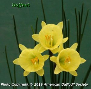 N.-hedraeanthus-var.-luteolentus.jpg