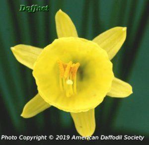 N.-hedraeanthus-var.-luteolentus-single-flower.jpg