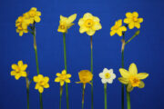 The Bankhead award for the best entry of 9 different mini daffodils. Exhibited by Janet Loyd. Flowers were: Baby Moon, Mite, Claire, Pixies Sisters, Jonq Simplex, N. Fernandesii, Oxford Gold, Minnow and Tete A Tete.