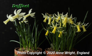 Narcissus Mitzy left Snipe right